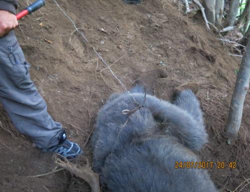 Urs salvat din capcana braconierilor