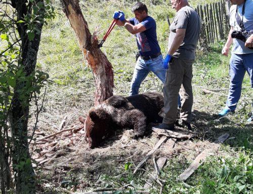 Urs eliberat din capcană improvizată